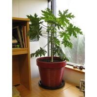Tohhum Cüce Papaya Tohumu 5 Tohum+Saksı+Toprak [Tohhum Ev Bahçe]