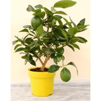 Tohhum Misket Lime Limon Tohumu [Tohhum Ev Bahçe]