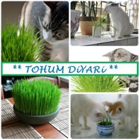 Tohum Diyarı Kedi Otu Çimi 10+ Tohum Organik