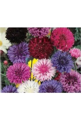 Tohhum Şifalı Karışık Renkli Kantaron Çiçeği [Tohhum Ev Bahçe]