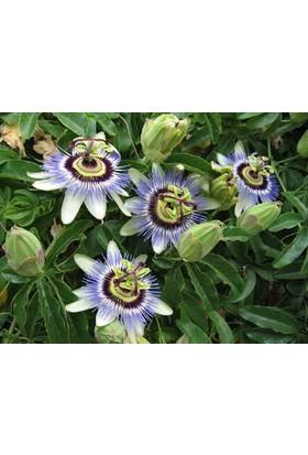 Tohhum Passiflora (Saat Çiçeği)* 5 Adet Tohum [Tohhum Ev Bahçe]