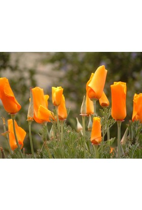 Tohhum Acem Lalesi*50+ Adet Tohum+Saksı+Toprak [Tohhum Ev Bahçe]