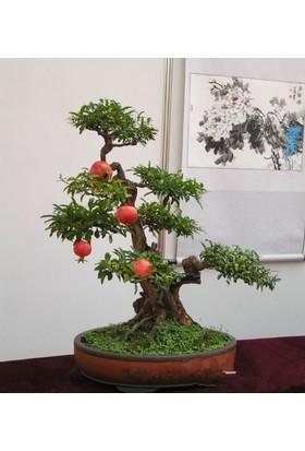 Tohhum Bonsai Nar Ağacı Tohumu (Saksı Toprak Seti) [Tohhum Ev Bahçe]