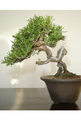 Tohhum Biberiye Bonsai Ağacı 10 Tohum(Saksı Toprak Seti) [Tohhum Ev Bahçe]