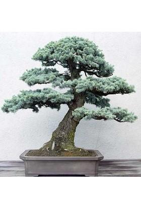 Tohhum Bodur Mavi Sedir Ağacı 10+ Tohum [Tohhum Ev Bahçe]