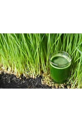 Tohhum Buğday Çimi Tohumu 1500+ Tohum Saksı+Toprak+Seti [Tohhum Ev Bahçe]