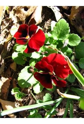 Tohhum Kırmızı Hercai Menekşe Tohum+Saksı+Toprak [Tohhum Ev Bahçe]