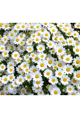 Tohhum Papatya Çiçeği Tohumu+Saksı+Toprak [Tohhum Ev Bahçe]