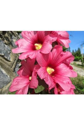Tohhum Pembe Hatmi Çiçeği Tohumu [Tohhum Ev Bahçe]