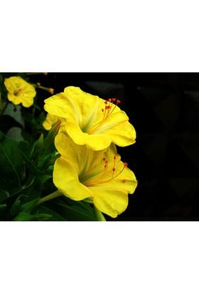Tohhum Sarı Akşam Sefası Tohumu [Tohhum Ev Bahçe]