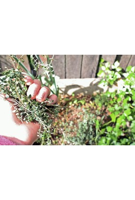 Tohhum Yayılıcı Kekik Tohumu 70+ Tohum [Tohhum Ev Bahçe]