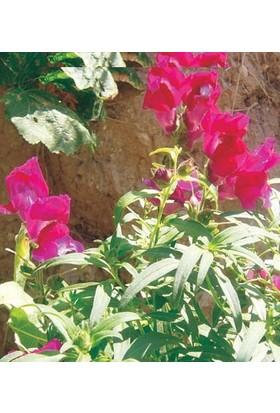 Tohum Diyarı Aslan Ağzı Çiçek Tohumu 20+ Tohum