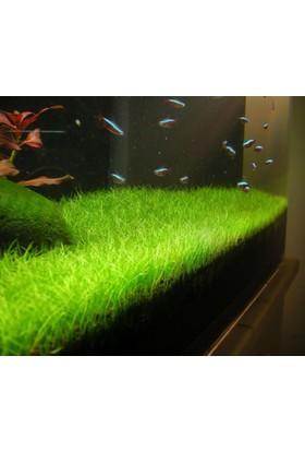Akvaryum Bitkileri Parvula - (Eleocharis Parvula) - 1 Bağ Akvaryum Zemin Bitkisi