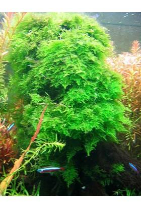 Akvaryum Bitkileri Christmas Moss - 5Cm - 5Cm Yeni Sarım 2 adet