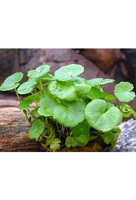 Akvaryumbitkileri Hydrocotyle Verticillata 5 Kök Akvaryum Bitkisi Nadir Tür