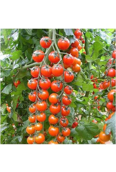 Tohhum Süper Sweet Cherry Domates [Tohhum Ev Bahçe]