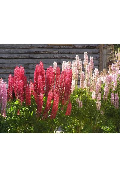 Tohhum Acı Bakla Çiçeği* ( Lupine ) [Tohhum Ev Bahçe]