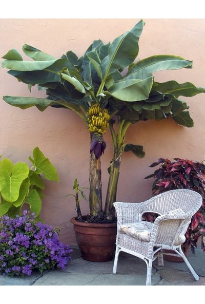 Tohhum Bodur Muz Tohumu(Cavendish Dwarf Banana) [Tohhum Ev Bahçe]