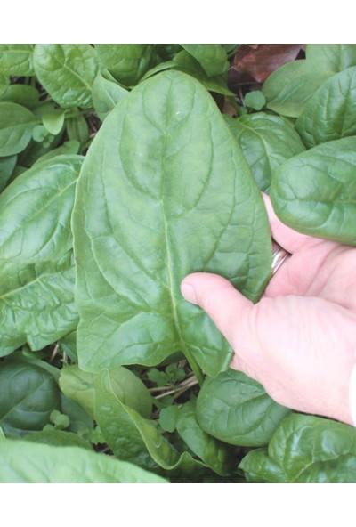 Tohhum Kışlık Ispanak 150+ Tohum [Tohhum Ev Bahçe]