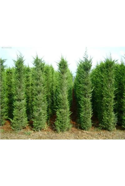 Tohhum Leylandi Ağacı Tohumu 25+ Tohum [Tohhum Ev Bahçe]