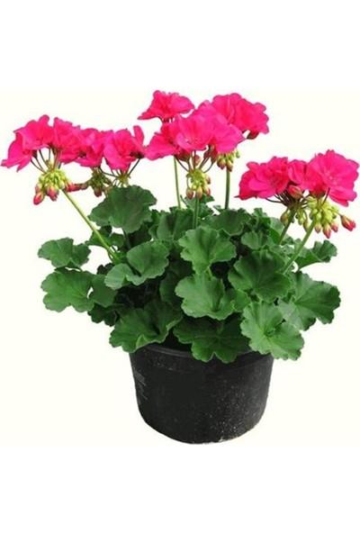 E-Tarım Saksılı Sardunya Çiçeği