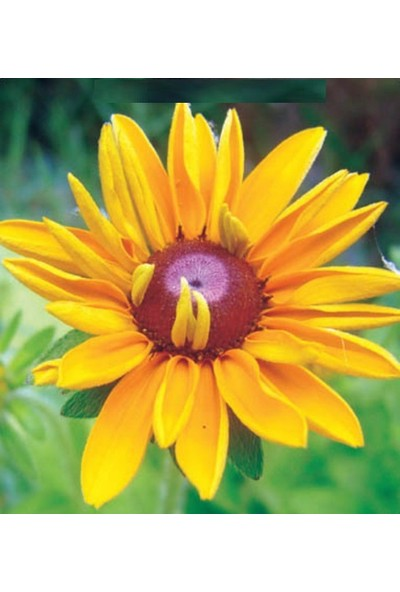 Tohum Diyarı Afrika Papatyası Çiçek Tohumu 10 + Tohm