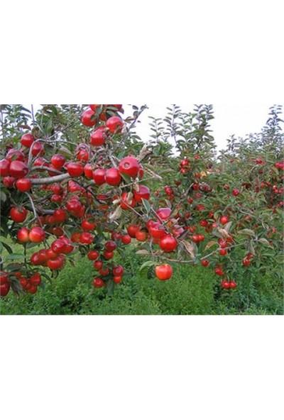 Karadeniz Fidancılık Scarlet Spur Elma Fidanı / Tüplü