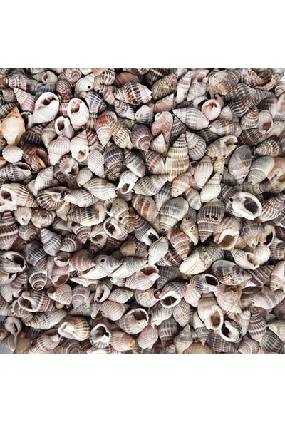 Tahtakale Toptancısı Nassarius Margaritifilus Kiloluk Deniz Kabuğu (1 Kg)