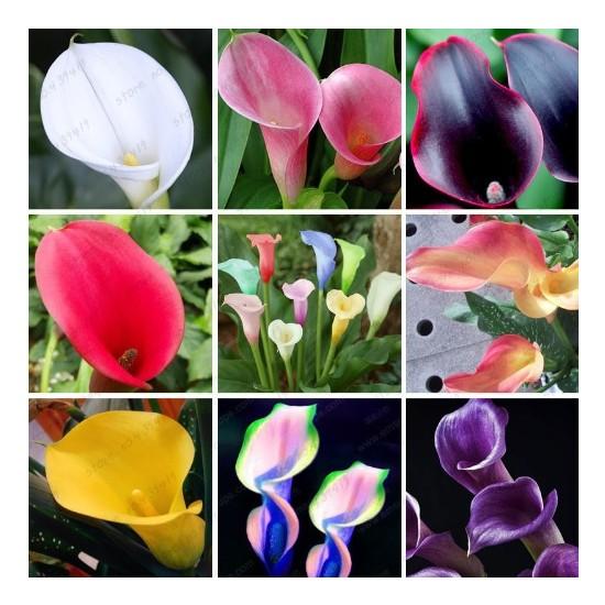 Tohum Diyarı Zambak 9 Çeşit Karışık Zambak Çiçeği Tohumu 10+ Tohum