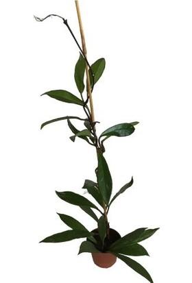 Armenbotanik Hoya Carnosa Mum Çiçeği Tek Kök