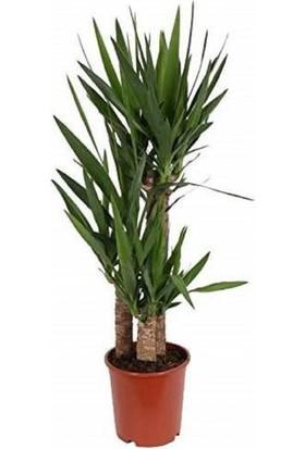 Ms Yucca Bitkisi 3 Kök Yuka Bitkisi Avize Çiçeği 130 140 Cm Ev Bitkisi Ofis Bitkisi Salon Bitkisi