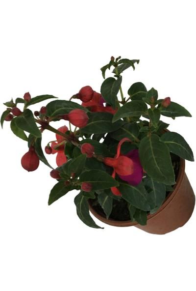 Armenbotanik Küpeli Çiçeği