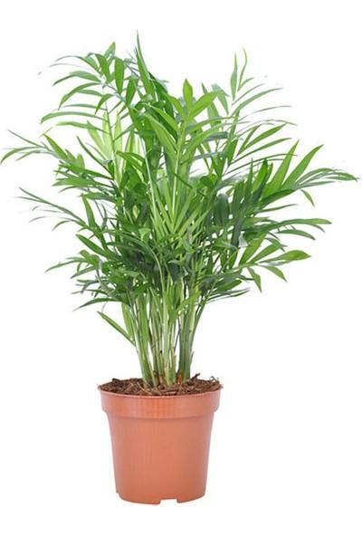 Salon Bitkileri Dağ Palmiyesi Chamadora