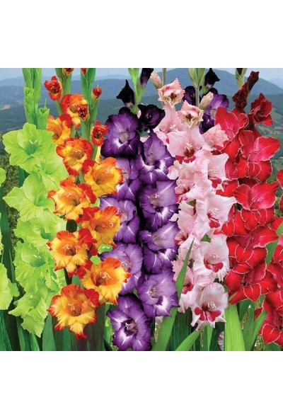 Karakuş Glayöl Çiçeği Soğanı Karışık 5'li