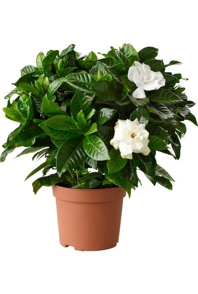Ankara Sera Gardenia Jasminoides Kokulu Gardenya Ev ve Ofis Bitkisi 17 cm Saksıda