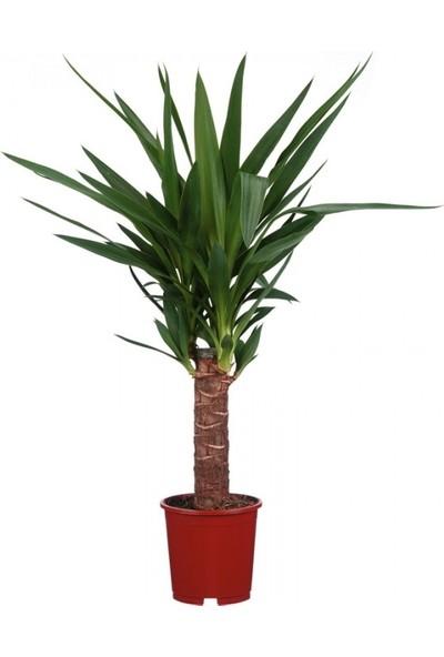 Ankara Sera Yucca Jawel Çiçeği Yukka Bitkisi Yuka Çelik Gövde 40-50 cm Ev Bitkisi