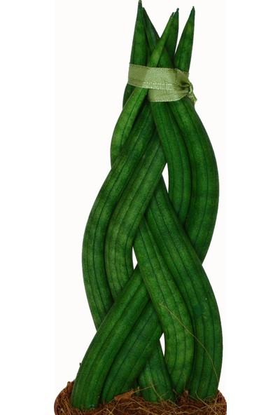 Kaktüs Bahçe Sansevieria Cylindrica Örgülü