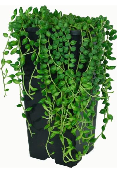 Kaktüs Bahçe Senecio Rowleyanus