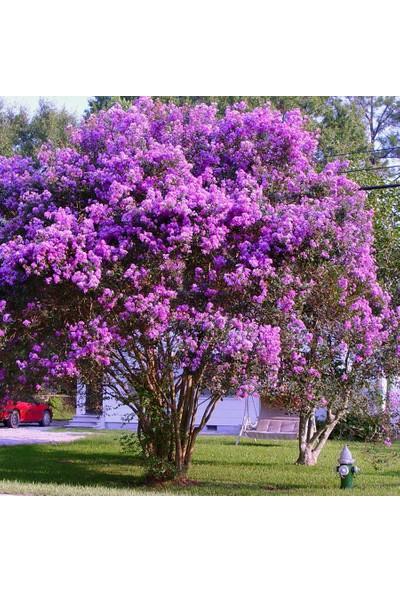 Mutbirlik Tüplü Mor Çiçekli Lagerstroemia İndica Oya Ağacı