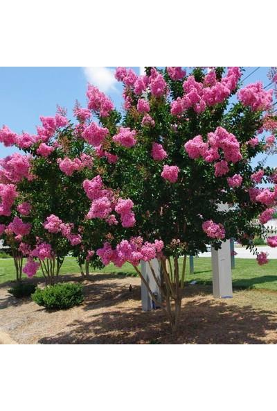 Mutbirlik Tüplü Pembe Çiçekli Lagerstroemia İndica Oya Ağacı