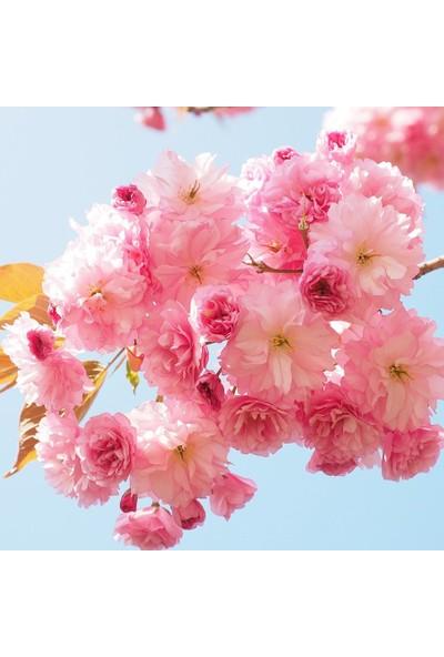 Mutbirlik Tüplü Süs Kirazı Prunus Serrulata Ağacı Fidanı