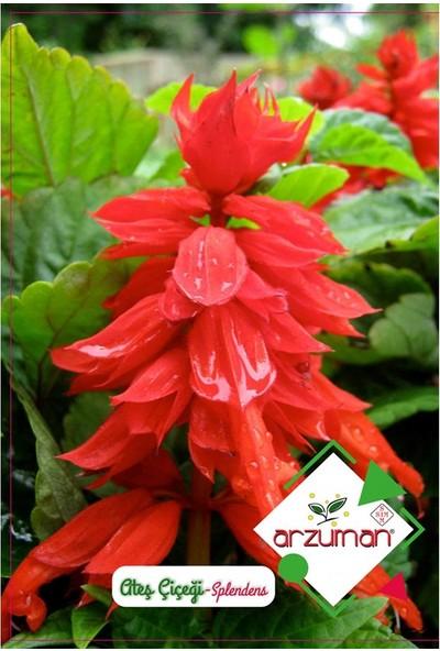 Mutbirlik Kırmızı Salvia Ateş Dikeni Çiçeği Tohumu-30 Adet