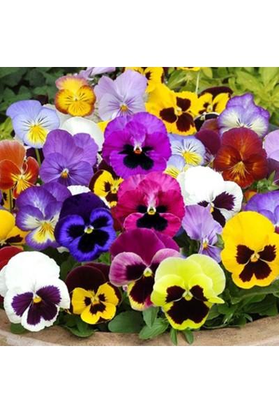 Mutbirlik Karışık Renklerde Hercai Menekşe Çiçeği Tohumu-100 Adet