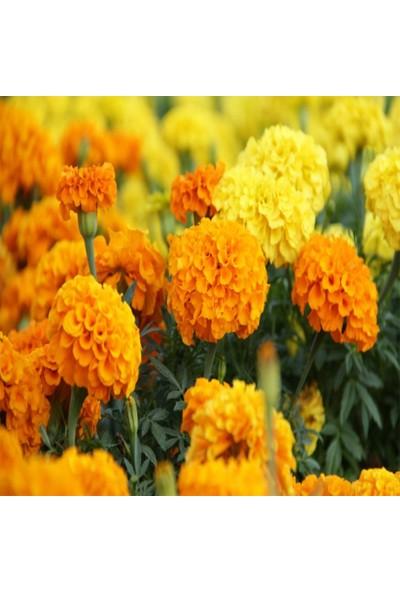 Mutbirlik Sarı Turuncu Kadife Çiçeği Tohumu-50 Adet