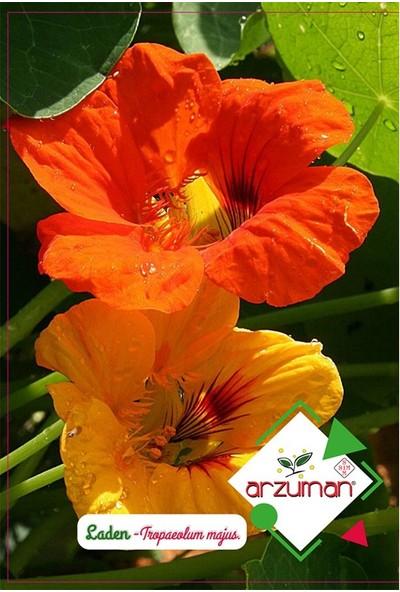 Mutbirlik Hint Teresi Laden Çiçeği Tohumu-6 Adet
