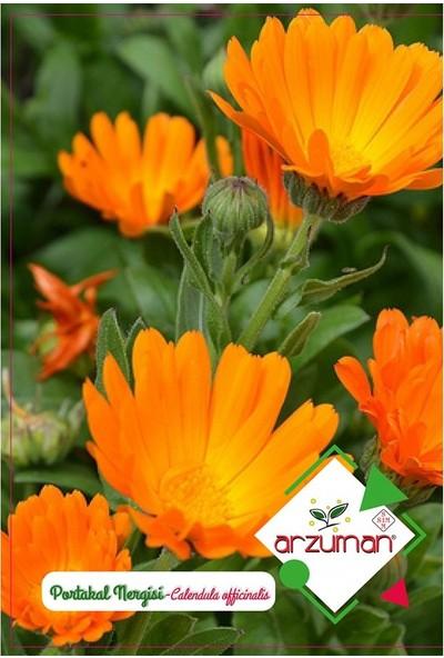 Mutbirlik Aynı Sefa Portakal Nergisi Çiçeği Tohumu-30 Adet