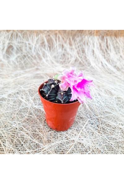 Mutbirlik Gymnocalycium Mihanovichii Pembe Çiçekli Açan Kaktüs