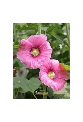 Agrobazaar Gülhatmi Çiçeği Tohumu 25 Tohum