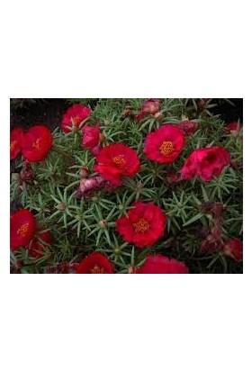 Agrobazaar İpek Çiçeği Tohum 50 Adet Tohum