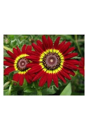 Agrobazaar Kasımpatı Çiçek Tohumu 2 ~ Takribi 20 Tohum
